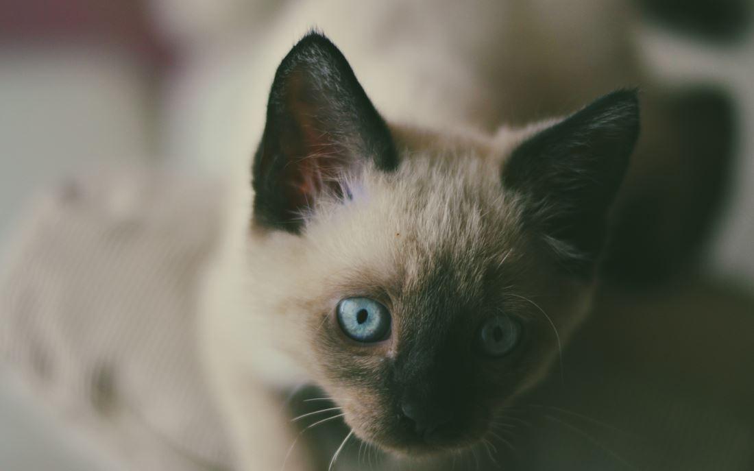 短毛猫的代表品种泰国暹罗猫可爱萌宠图片