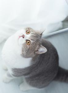 超级可爱的居家宠物肥猫小猫咪图片