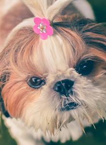 温和可爱的小型犬种西施犬图片大全