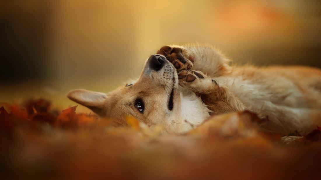 可爱威尔士蠢萌小短腿柯基犬宠物图片
