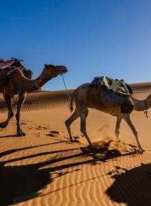 在烈日沙漠行走的骆驼野生动物图片大全