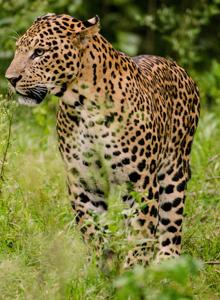 国家一类重点保护野生金钱豹图片
