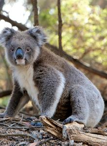 超级可爱的野生考拉动物图片