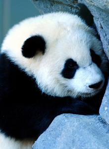 國家一級保護動物國寶野生大熊貓圖片