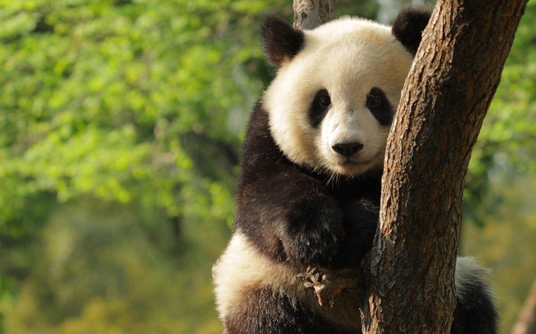国家一级保护动物国宝野生大熊猫图片