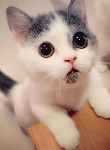 超會賣萌的家庭萌寵小貓咪圖片 惹人疼愛想抱抱