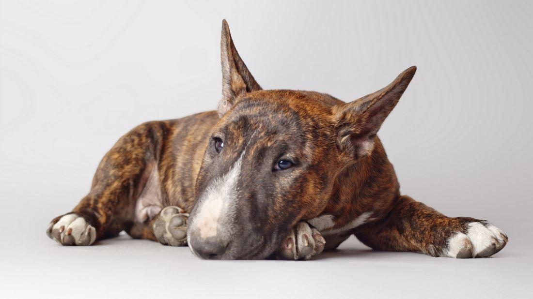 Bull Terrier牛头梗犬高清狗狗图片大全